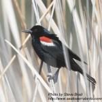 Tri-colored Blackbird Jacumba 2016 04 28-1.CR2