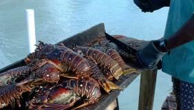 bvi_lobster