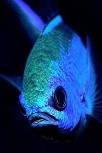 electric blue chromis fish - BVI Snorkelling