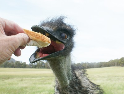 The Attack of the Killer Emu by barq2790 Photography Animals