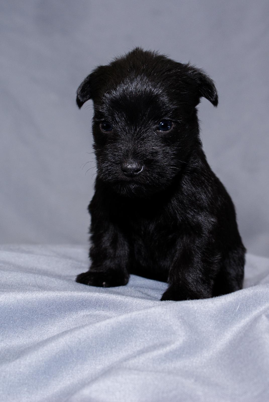Distinguished Sale Female Black Schnauzer Yorkie Pup Female Black Schnauzer Yorkie Pup By Drop Schnauzer Yorkie Mix Black Schnauzer Yorkie Mix Puppy bark post Schnauzer Yorkie Mix