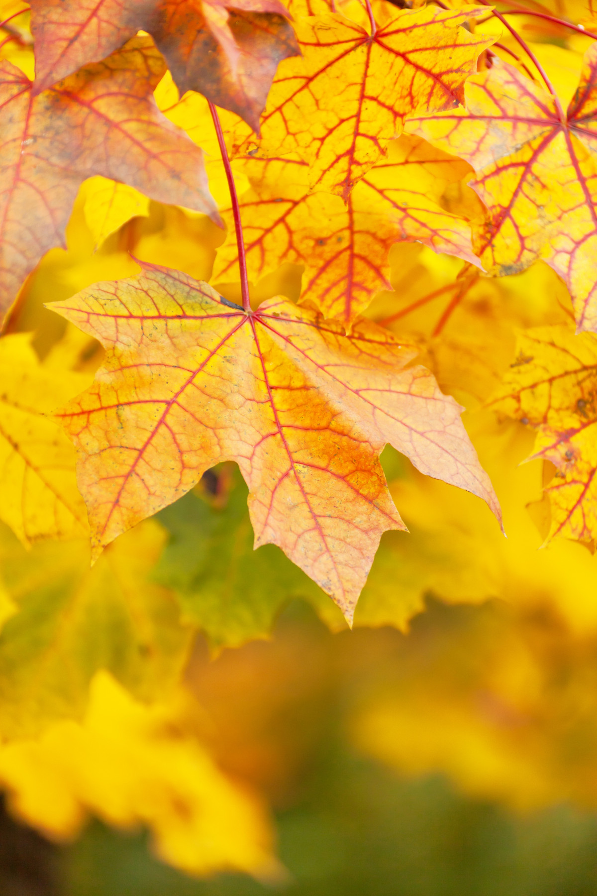 Autumn Leaf Fall Wallpaper Free Images Nature Branch Abstract Sunlight Fall