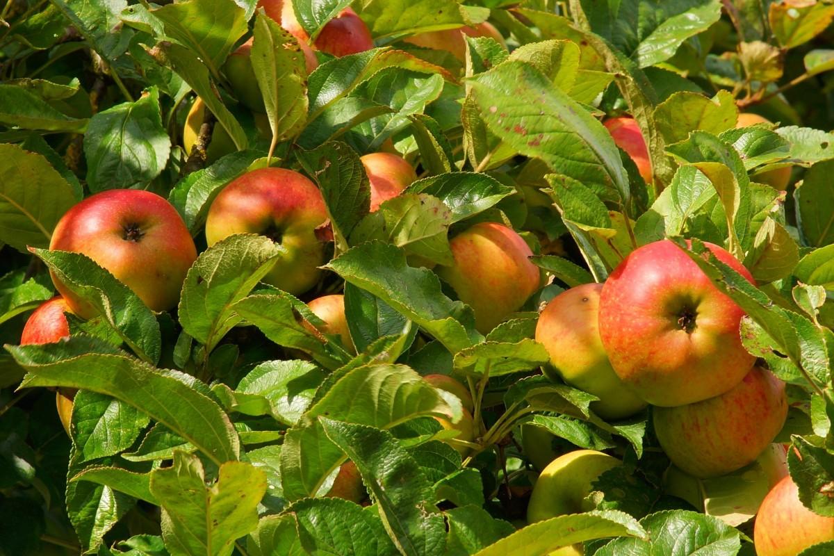Late Fall Desktop Wallpaper Free Images Apple Branch Fruit Flower Ripe Food