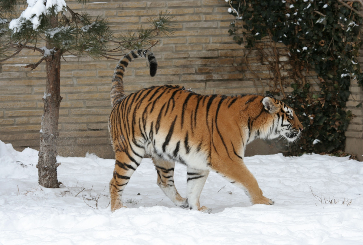 Safari Animal Wallpaper Free Images Forest Outdoor Wilderness Winter Play
