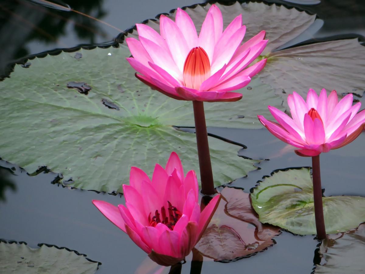 3d Garden Wallpaper Free Images Gratuites Fleur P 233 Tale Printemps Asie Rose