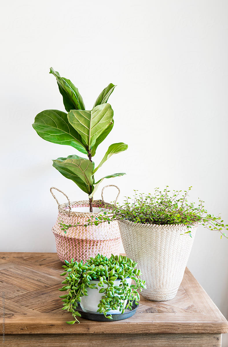 Indoor Plants Stock Photo Wooden Table With Indoor Plants Displayed In Woven Seagrass Baskets