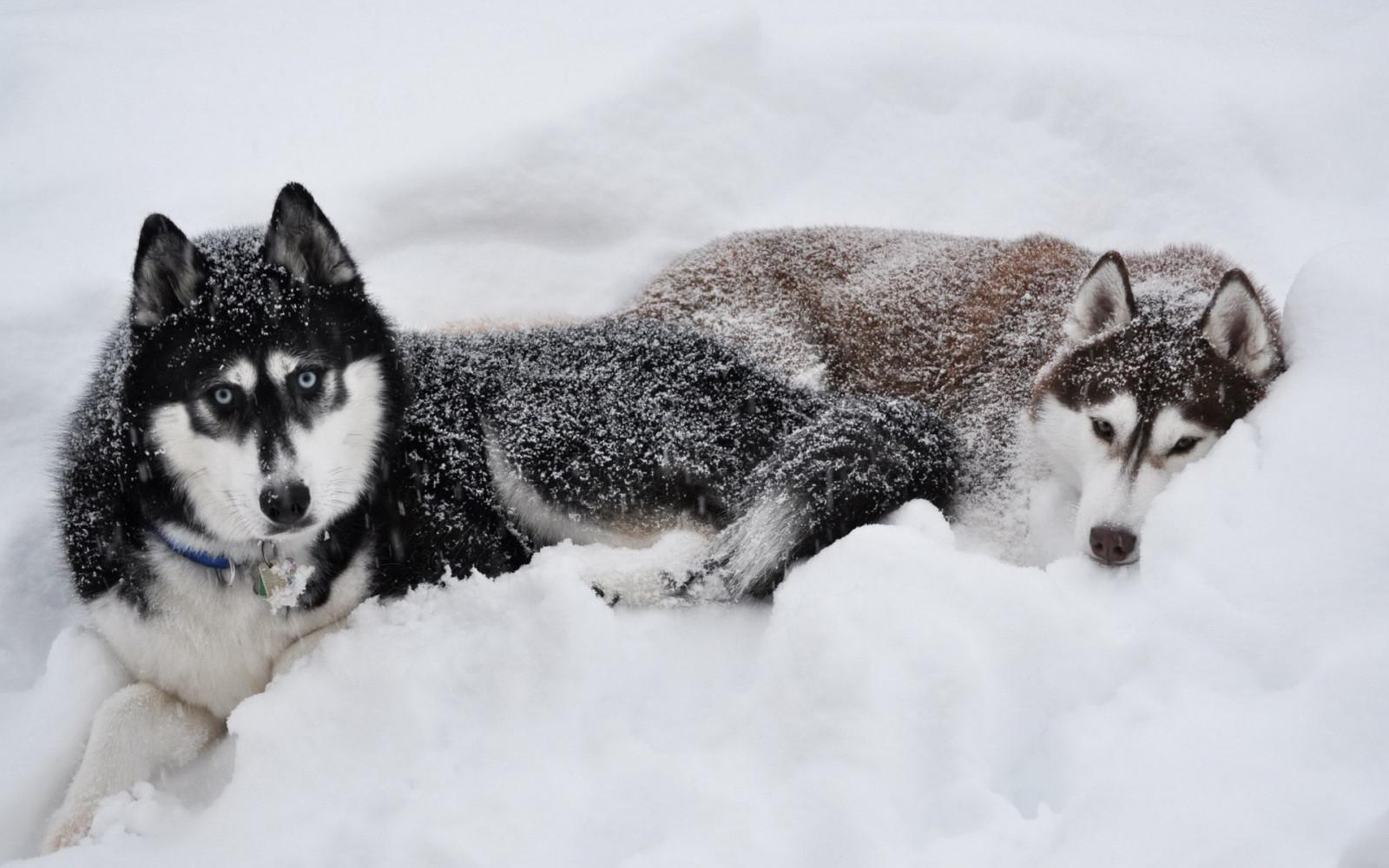 Husky Dog Hd Wallpapers Wallpaper Snow Winter Vehicle Siberian Husky Alaskan