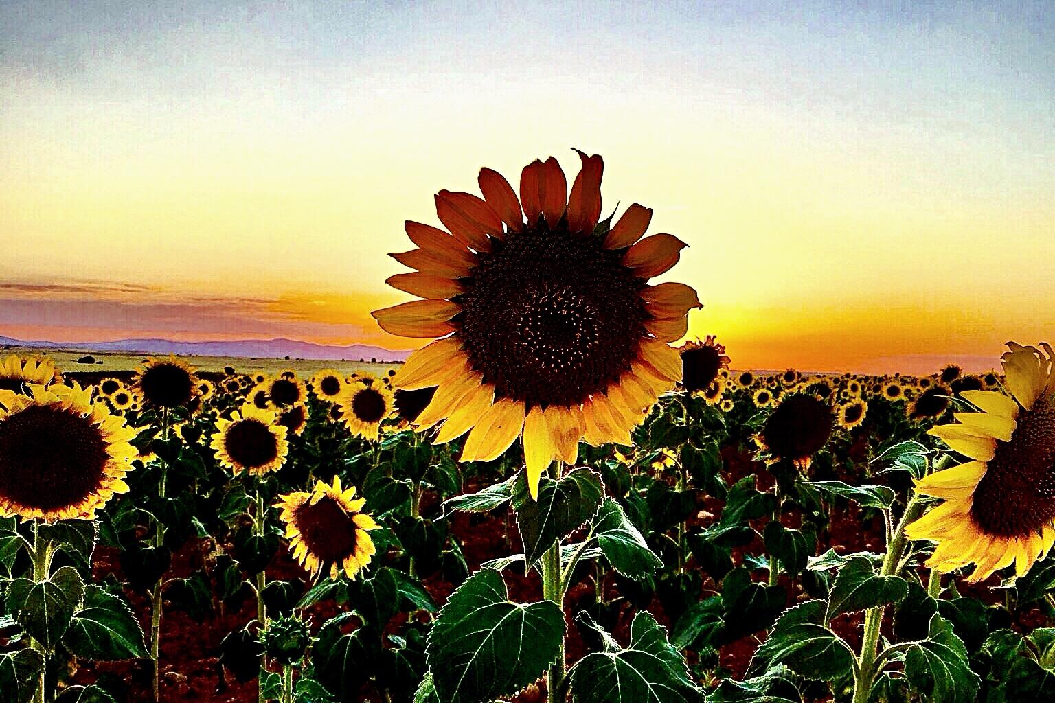 Sunflower Iphone Wallpaper Fondos De Pantalla Puesta De Sol Flores Campo
