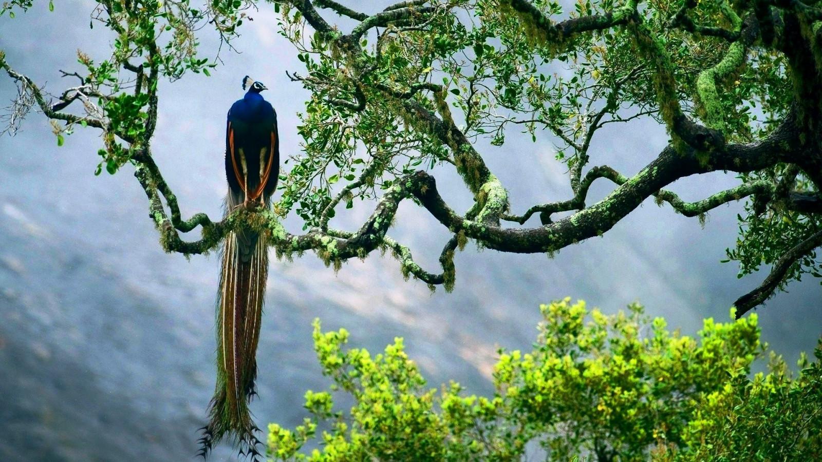 Numa Falls Wallpaper Wallpaper Trees Birds Animals Sky Peacock Branch
