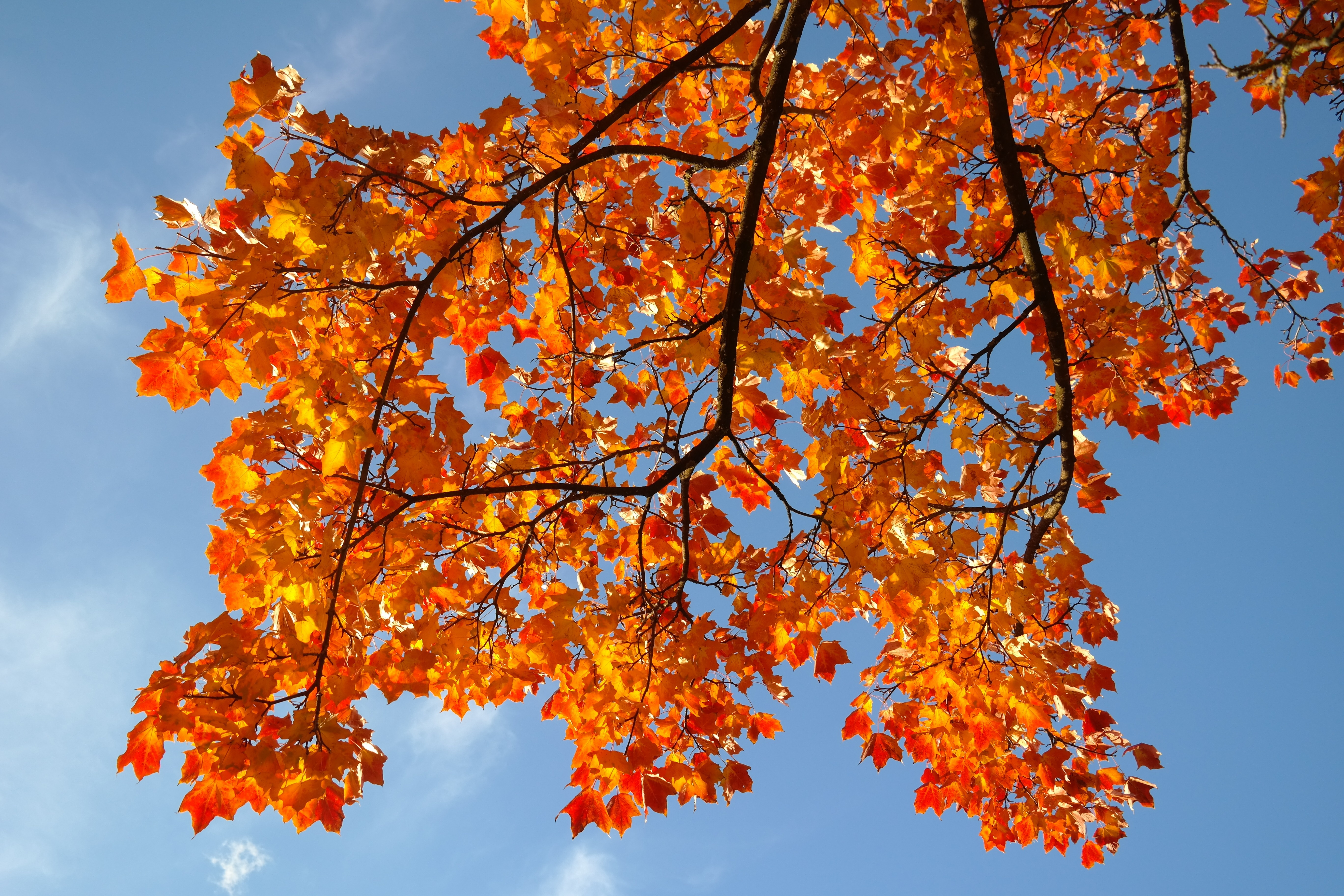 Free Wallpaper Fall Colours Leaves Autumn Fall Color Branch Autumn Tree Free