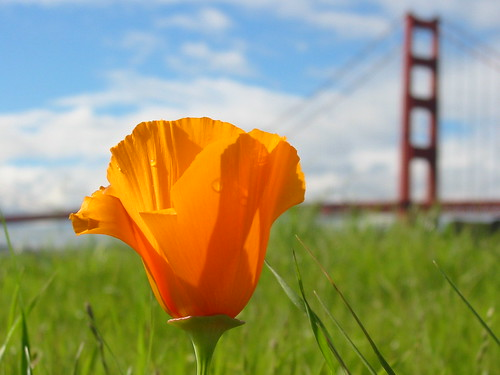 Free 3d Flower Wallpaper Golden Poppy California S State Flower In Front Of The