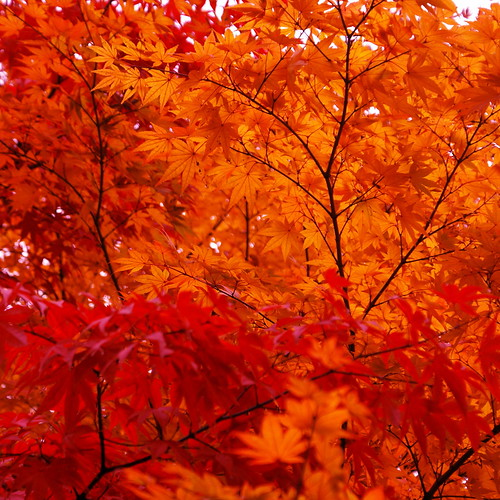 3d Nature Wallpaper Photos Maple Red Orange And Black Ryan Pikkel Flickr
