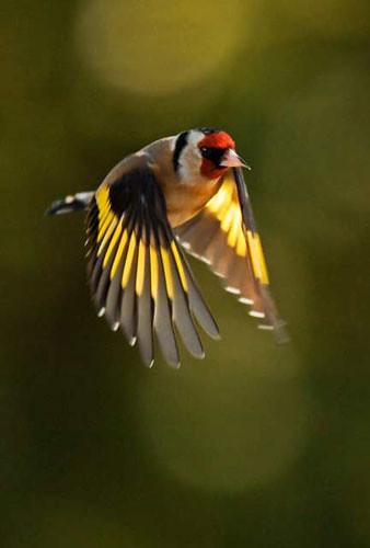3d Wallpaper World Map Goldfinch European Goldfinch In Flight Sean Reidy Flickr