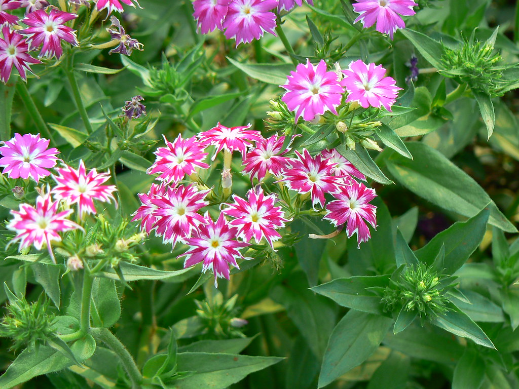 Eenjarige Tuinplanten Phlox Drummondii Common Name Annual Phlox Drummond 39s