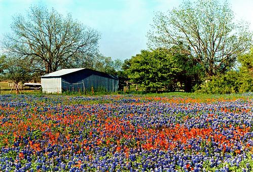 Free 3d Spring Wallpaper Bluebonnet Field Ellis County Texas Taken Along Ennis