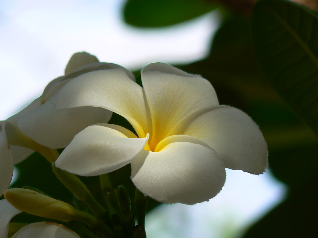 Create Own Name 3d Wallpaper Plumeria Obtusa Singapore White Apocynaceae Dogbane