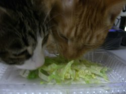 Small Of Can Cats Eat Lettuce