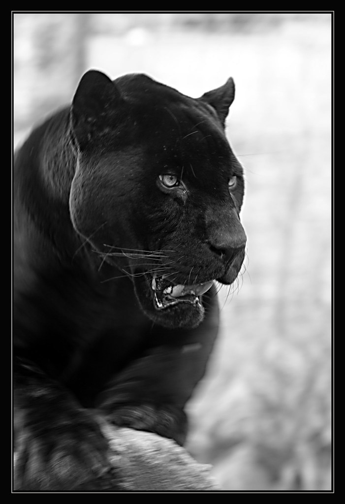 3d Black Jaguar Wallpaper Black Panther This Is Jackson The Already 20 Year Old