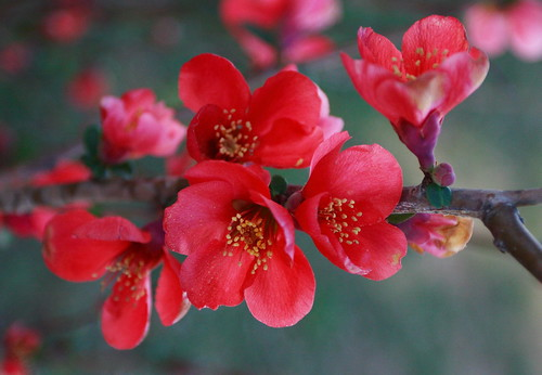 3d Japanese Wallpaper Red Flower Of The Japanese Flowering Quince 169 2007