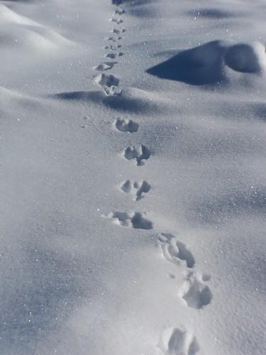 Blue Animal Print Wallpaper Rabbit Tracks In Snow Julieconingham Flickr