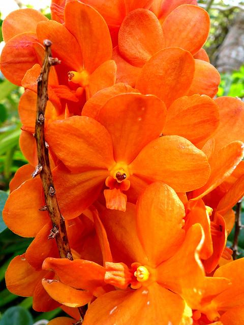 3d Orchid Wallpaper Orange Orchids Chotda Flickr