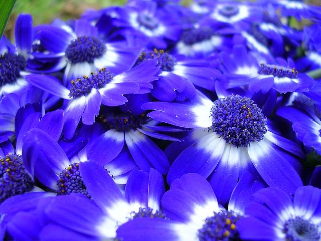 Purple 3d Wallpaper Flores Azules Cuyo Nombre Desconozco Shaorang Flickr