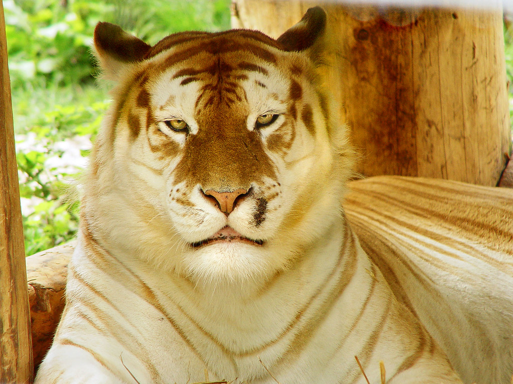 3d Cat Wallpaper Hd Golden Tiger Relaxing Taken In The Siky Ranch Zoo In