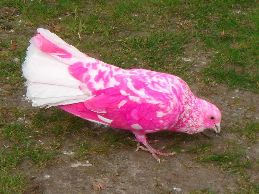 Animal Photo Wallpaper Pink Pigeon There Are A Few Of These Probably Painted