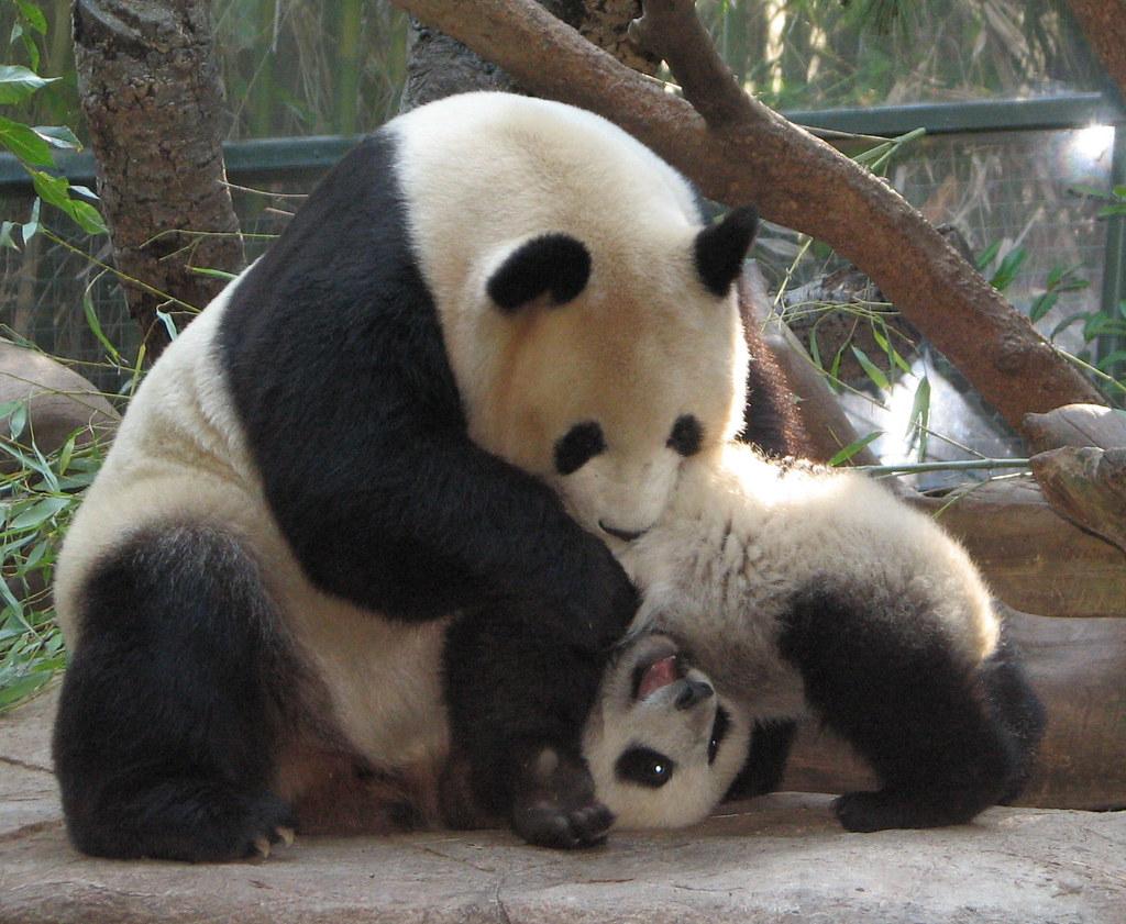Cute Camera Wallpaper Cirque Du Soleil Panda Style Baby Panda Su Lin S