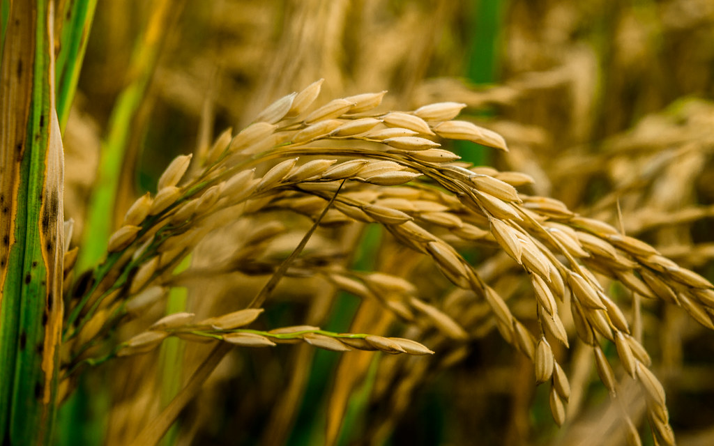 India Wallpaper 3d Golden Harvest Rice Paddy My Native Village