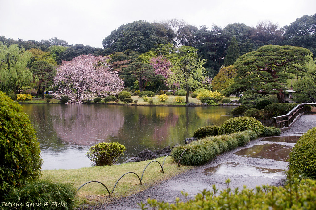 Koi 3d Wallpaper Rain In Shinjuku Gyoen National Garden There Are Fallen