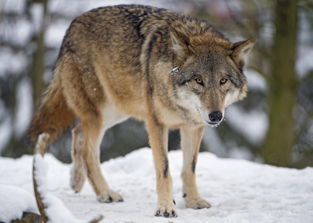 Fighting Wallpaper Hd Wolf Walking In The Snow A Wolf Walking In The Snow