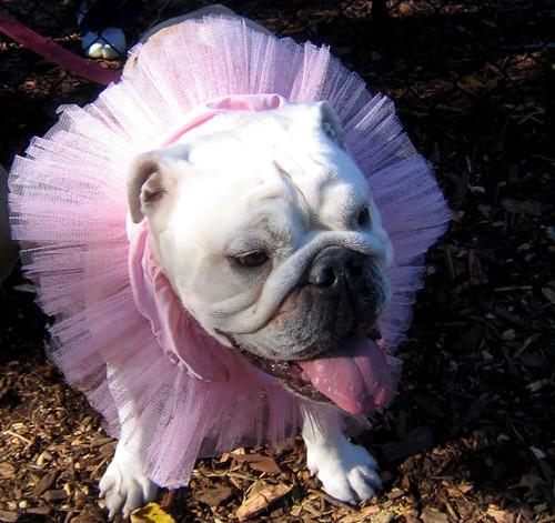 3d Pink Wallpapers Hd Bulldog Tutu Istolethetv Flickr