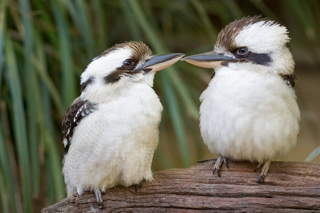 3d Wallpaper Australia Two Kookaburras On Branch Two Kookaburras At Beewah
