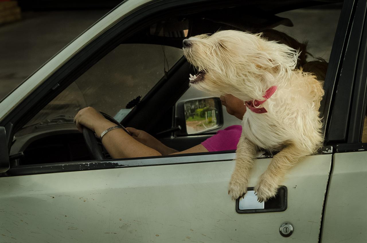 Un perro ladra a la gente a medida que van llegando al centro de Caacupé. (Elton Núñez).