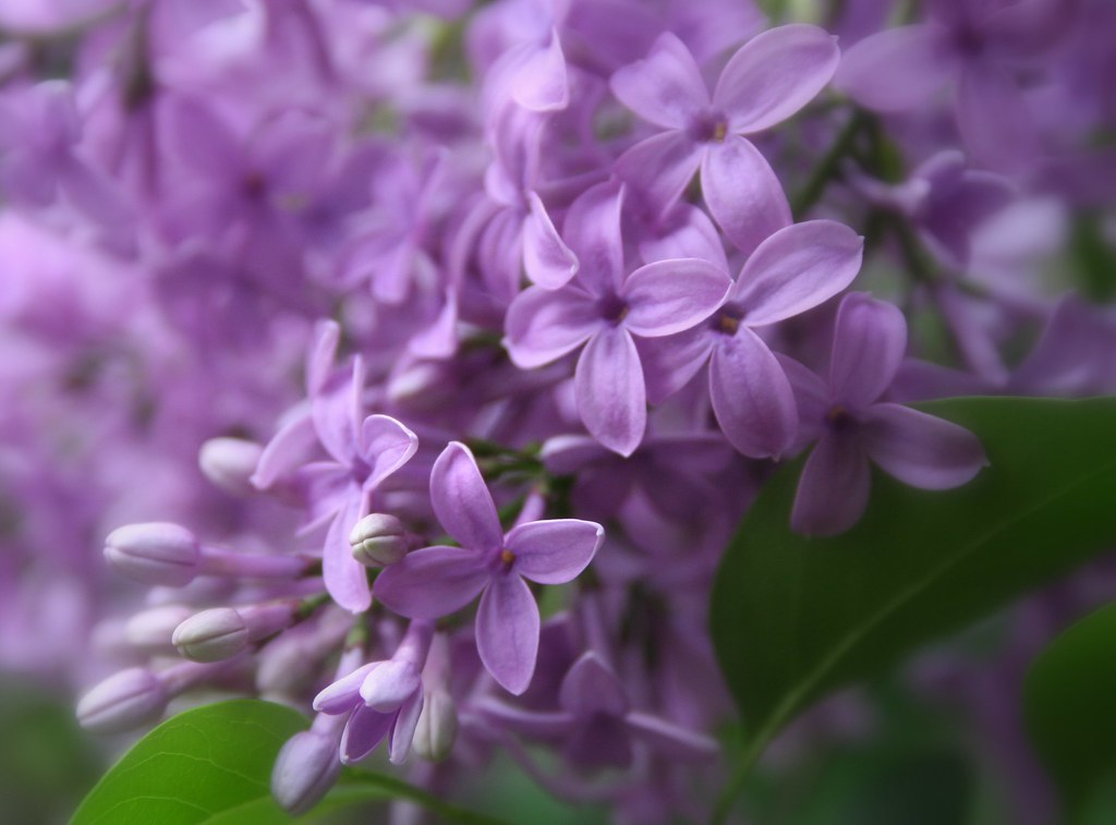 My Girl Wallpaper Love Of Lilacs Lilacs Have Got To Be One Of My Favorite