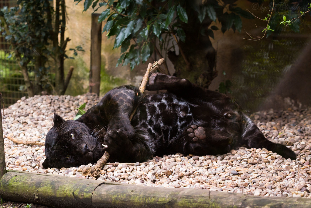 Cute Cat Wallpaper 3d Playing Black Jaguar Another Pic From Zoo D Amn 233 Ville