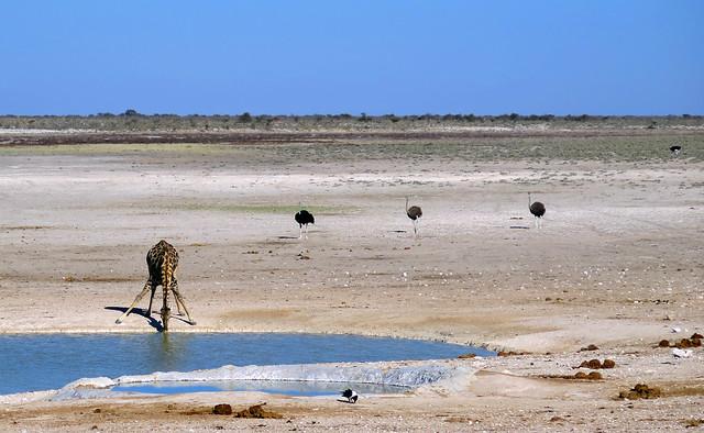 Girafa bebiendo