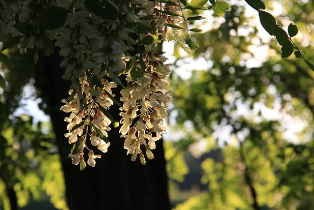 Black Locust Blossoms