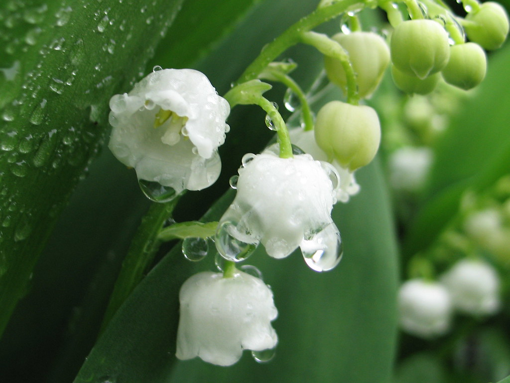 Hd Mom Wallpaper Lily Of The Valley In The Rain In Holyoke Ma Sunday