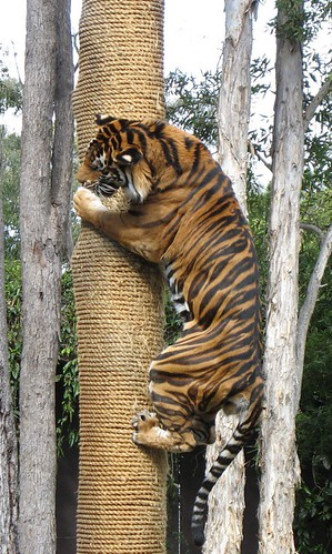 3d S Wallpaper Tiger Climbing A Tree He S Up There Because He Got A