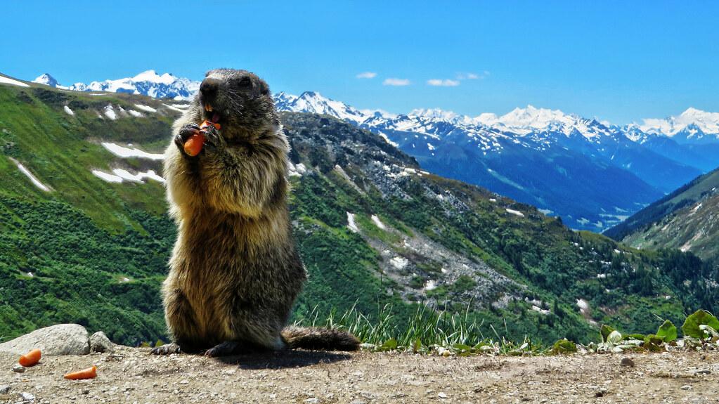 3d Wow Wallpaper Greedy Alpine Marmot Belv 233 D 232 Re Furka Wallis Switzerl