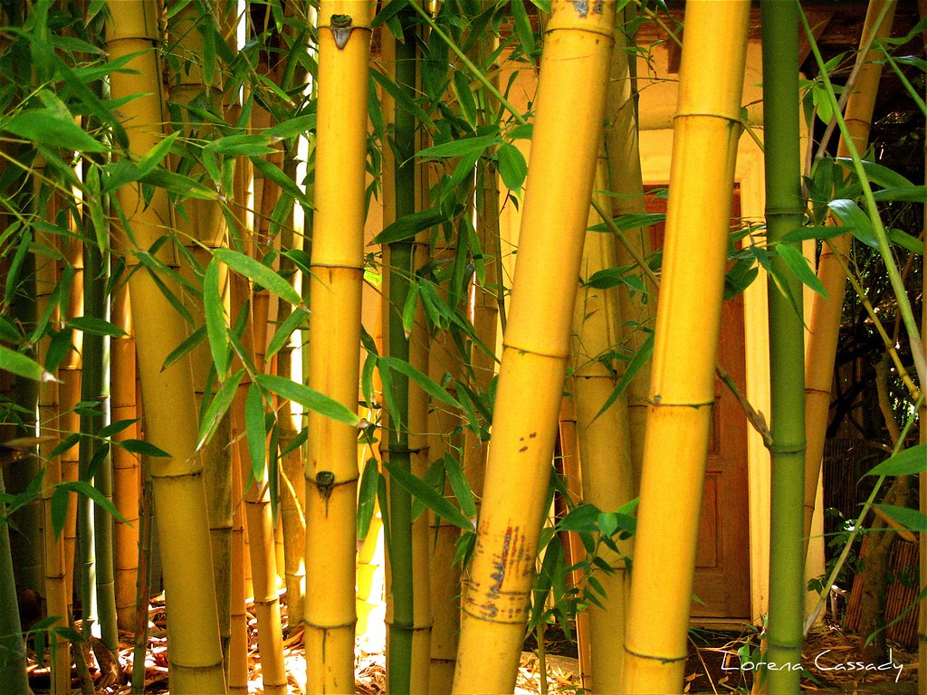 Get It Girl Wallpaper Yellow Bamboo 169 Lorena Cassady Yaxchibonam Flickr