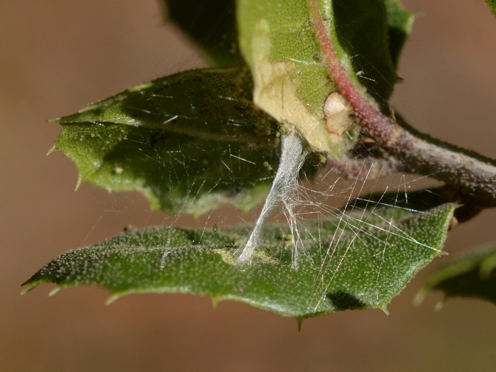 Fullsize Of Live Oak Leaf