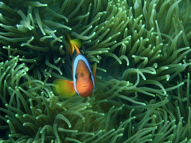 3d Clown Wallpaper Clown Fish In Anemone Black Anemone Fish Peeking Out Of