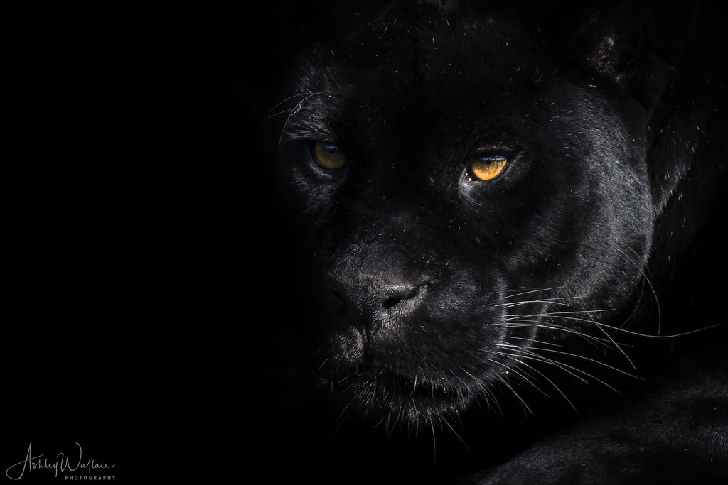 Black Wallpaper Hd Black Jaguar Chester Zoo Uk 169 Ashley Wallace All