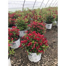 Small Crop Of Sonic Bloom Weigela