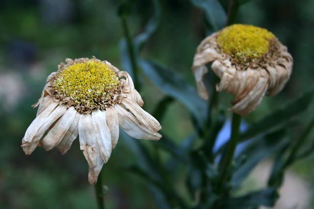 3d White Flower Wallpaper Dead Flowers Dead Flowers Fotologic Flickr