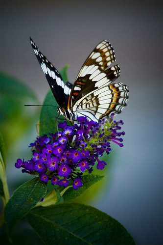 3d Purple Tiger Wallpaper Butterfly Bush 3 Shot While Out Gardening Topher Flickr