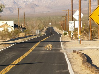 Coyote in the Road, Kelso, California 09.15.2007 | Poor fell… | Flickr